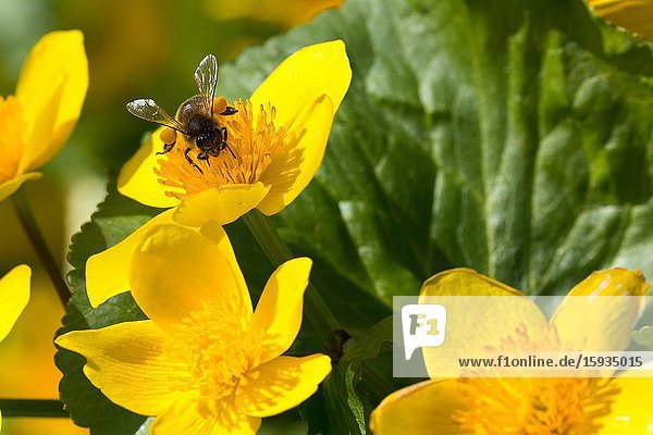 Bees gathering nectar from wild spring flowers Scotland UK.