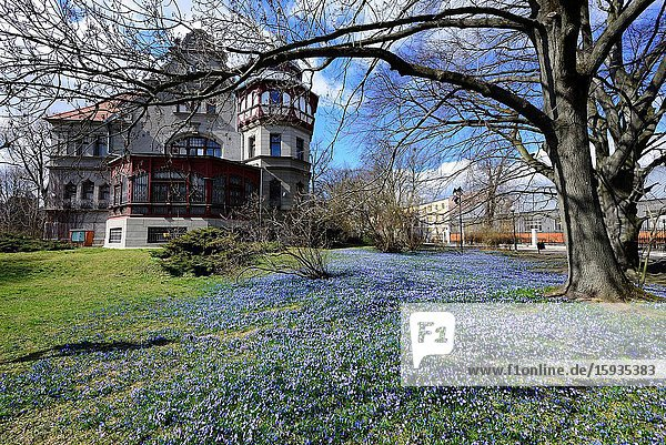 Europe  Poland  Lodz  Historic Villa of Reinhold Richter in park named after the bishop Michal Klepacz in the city center  park belongs to Lodz University of Technology (TUL)  in spring park is covered with carpets of violet coloured Siberian squill (Scilla siberica) little flowers  empty park in March 2020 during the coronavirus pandemic.