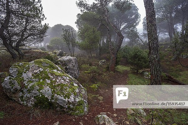Granite rocks with moss and fog at The Concejo pinewood. Madrid. Spain. Europe.