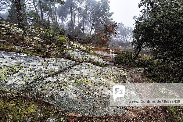 Granite rocks with lichens  pines and fog at The Muniana Cliff. Madrid. Spain. Europe.