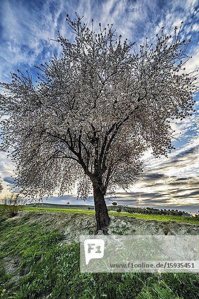 Blossom almond tree at dawn and fields in Pinto. Madrid. Spain. Europe.