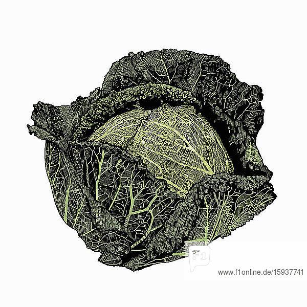 Illustration of savoy cabbage