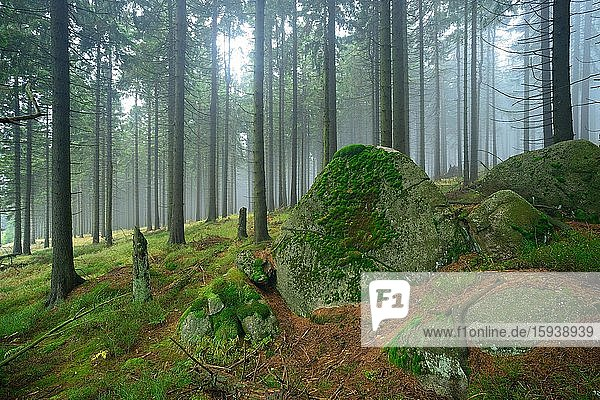 Forest wilderness in the Harz National Park  spruce forest covered with fog  large boulders covered with moss  Saxony-Anhalt  Germany  Europe Forest wilderness in the Harz National Park, spruce forest covered with fog, large boulders covered with moss, Saxony-Anhalt, Germany, Europe
