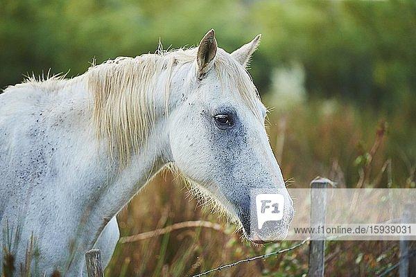Camargue horse on wicker fence  animal portrait  Camargue  France  Europe