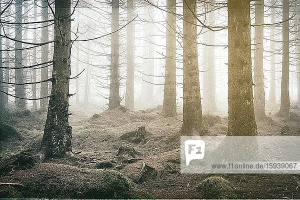 Spruce forest  thick fog  retro processing  Harz National Park  near Braunlage  Lower Saxony  Germany  Europe Spruce forest, thick fog, retro processing, Harz National Park, near Braunlage, Lower Saxony, Germany, Europe