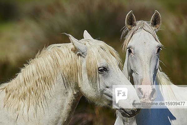 Two Camargue horses  portrait  Camargue  France  Europe