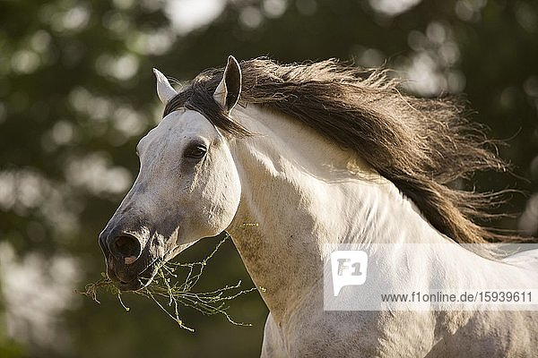 Grey P.R.E. stallion at a gallop with grass in his mouth  Andalusia  Spain  Europe