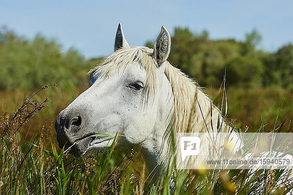 Camargue horse standing in high reed  portrait  Camargue  France  Europe