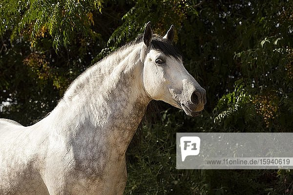 Portrait of a Spanish stallion  Andalusia  Spain  Europe