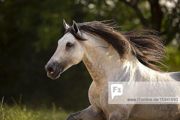 Grey P.R.E. stallion portrait  Andalusia  Spain  Europe