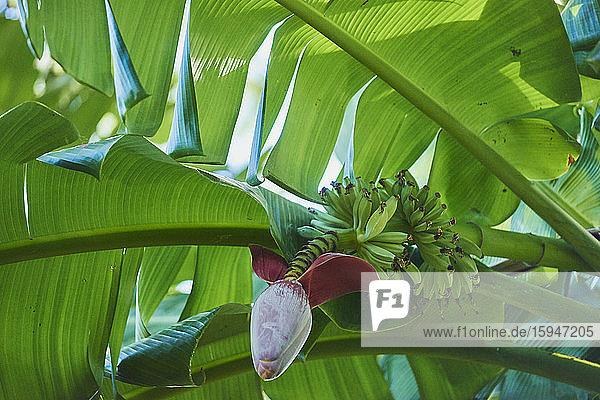 Banana plant  Oahu  Hawaii  USA