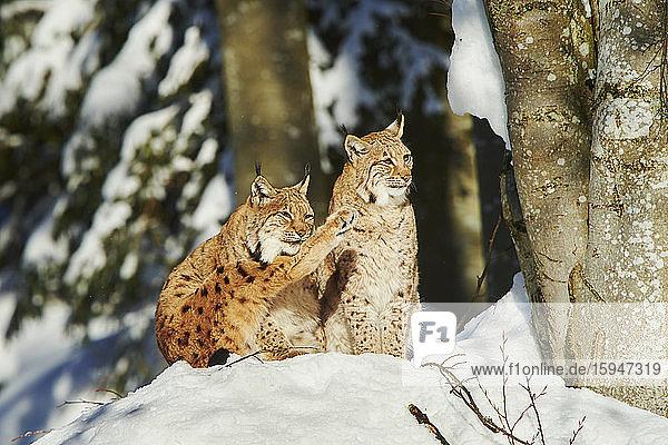 Eurasian lynx  lynx lynx  in snow  Bavarian Forest National Park  Bavaria  Germany  Europe