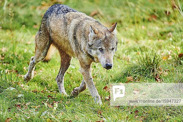 Eurasian wolf  Canis lupus lupus  Bavaria  Germany  Europe