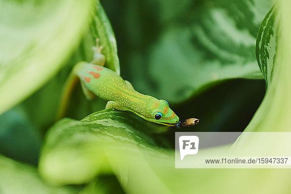 Gold dust day gecko  Phelsuma laticauda  Oahu  Hawaii  USA