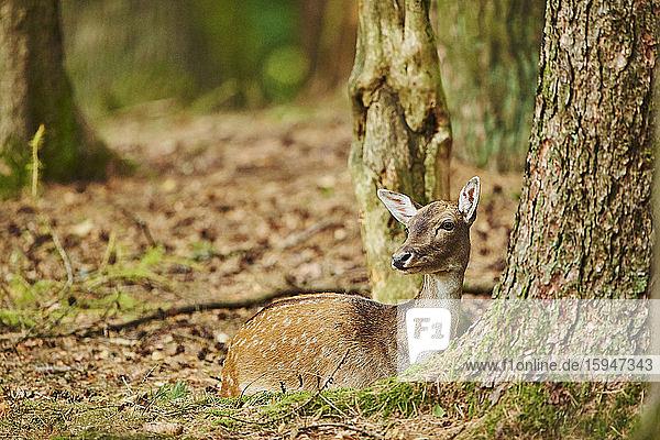 Fallow deer  Dama dama  in forest  Bavaria  Germany  Europe