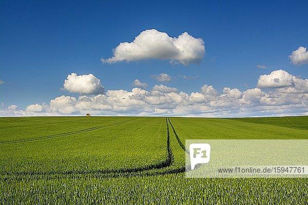 Spuren in einem Weizenfeld  Departement Puy de Dome  Auvergne Rhone Alpes  Frankreich  Europa