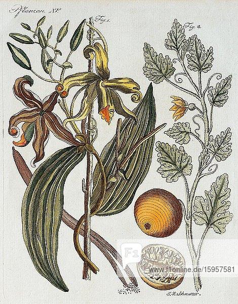Vanilla (Vanilla planifolia) and Bitter apple (Citrullus colocynthis)  hand-coloured copperplate engraving from Friedrich Justin Bertuch Bilderbuch für Kinder  1801  Weimar  Germany  Europe