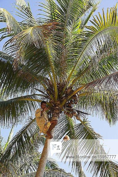 Man harvests coconuts from Coconut palm (Cocos nucifera)  Baracoa  Cuba  Central America