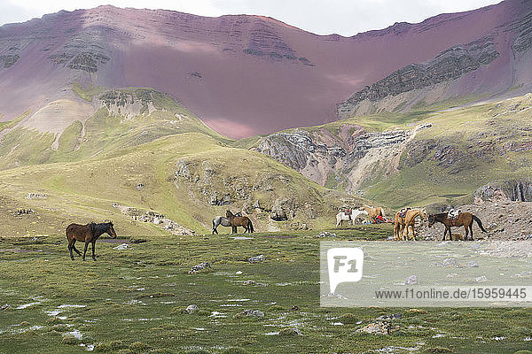 Horses grazing near Vinicunca mountain  also known as the Mountain of Seven Colors  or Rainbow Mountain in the Peruvian Andes.