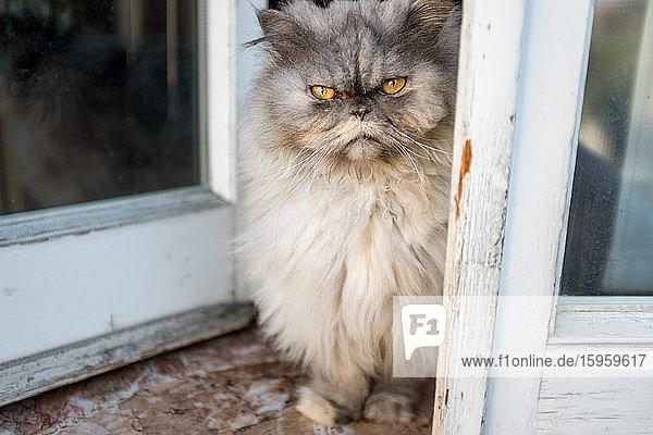 Grey fluffy cat sitting in open window during Corona virus quarantine.
