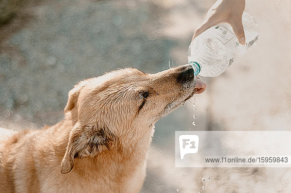 High angle view of dog drinking from water bottle.
