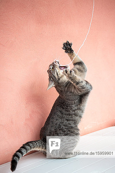 Close up of grey tabby cat playing with a piece of string.