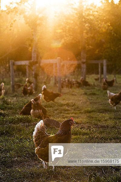 Freilandhühner im Freien im frühen Morgenlicht auf einem Biohof.
