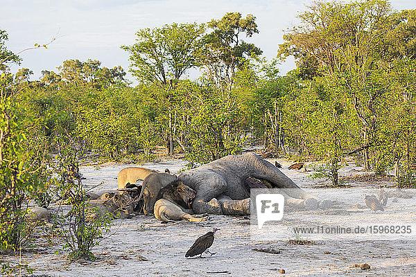 Ausgewachsene Löwen beim Fressen eines toten Elefantenkadavers in einem Wildreservat.