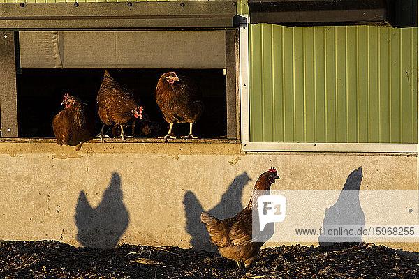 Freilandhühner in der Nähe eines Hühnerstalls  am frühen Morgen  die Schatten an eine Wand werfen.