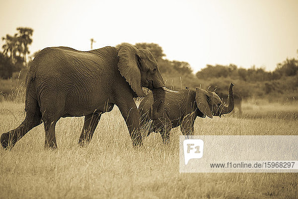 Zwei Elefanten  ein erwachsener Elefant und ein Kalb laufen durch Grasland.