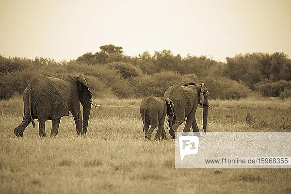 Eine Gruppe Erwachsener und ein kleinerer Elefant wandern durch Grasland.