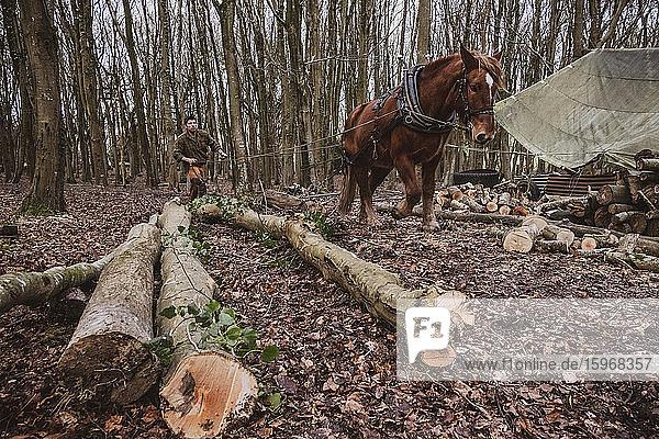 Holzfäller beim Fahren eines Arbeitspferdes beim Ziehen eines Baumstammes.