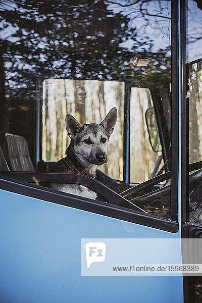 Nahaufnahme eines Hundes  der auf dem Fahrersitz eines blauen Pferdeanhängers sitzt.