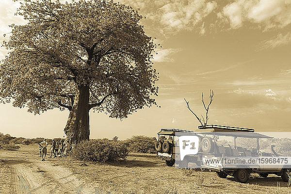 Safari-Fahrzeuge bei einem Affenbrotbaum  Adansonia.