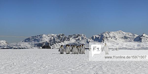 Königspinguine (Aptenodytes patagonicus) auf der schneebedeckten Salisbury-Ebene  Südgeorgien  Antarktis  Polarregionen