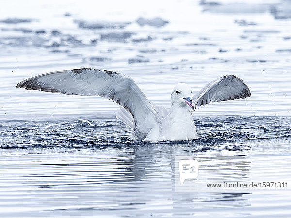 Ein ausgewachsener Eissturmvogel (Fulmarus glacialoides)  der sich von Krill ernährt  in Lindblad Cove  Trinity Peninsula  Antarktis  Polarregionen