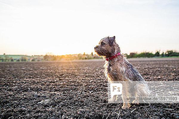 Border Terrier mit rotem Kragen bei Sonnenuntergang auf einem Feld sitzend  Vereinigtes Königreich  Europa