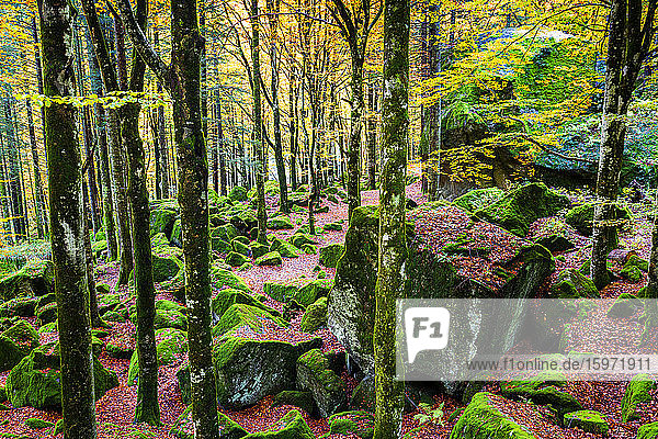 Wald von Bagni di Masino mit Herbstfarben  Valmasino  Valtellina  Lombardei  Italien  Europa