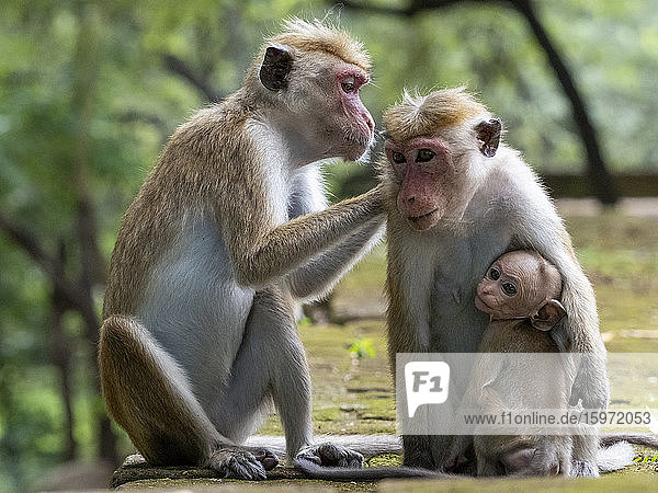 Sich gegenseitig pflegende Toque macaques (Macaca sinica)  Polonnaruwa  Sri Lanka  Asien