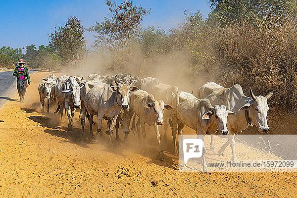 Kühe laufen entlang einer Strasse  Inle-See  Shan-Staat  Myanmar (Burma)  Asien