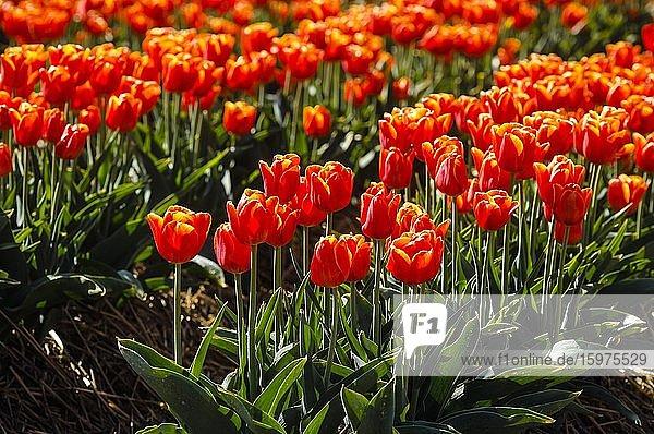 Tulips blooming in a tulip field  Grevenbroich  North Rhine-Westphalia  Germany  Europe