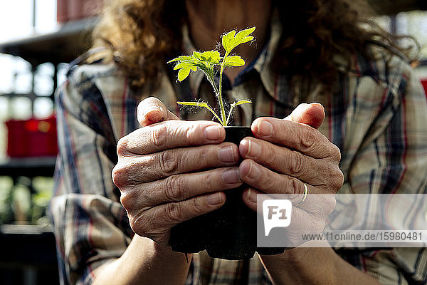 Midsection of female farmer holding organic plant at greenhouse