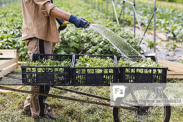 Organic farmer wetting freshly harvested lamb's lettuce in boxes