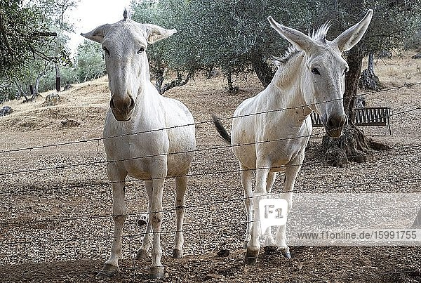 Two white donkeys in an Andalusian pasture  Cazalla  Seville  Andalusia  Spain  Europe