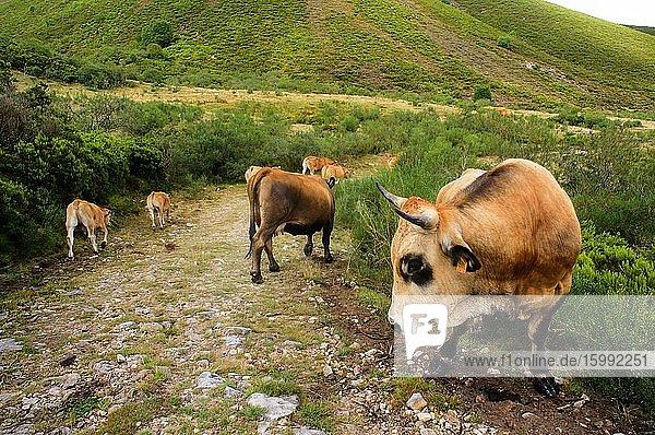 Cattle from Galician cows grazing in the Picos de Europa  Villaman?n  Leon  Esp?a