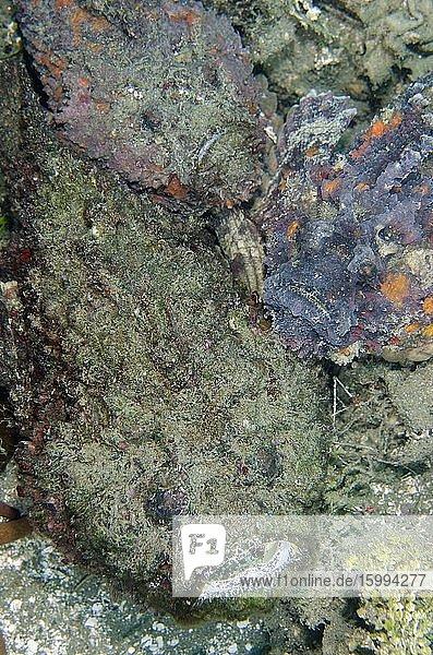 Trio of Reef Stonefish (Synanceia verrucosa)  Laha dive site  Ambon  Maluku  Indonesia  Banda Sea.