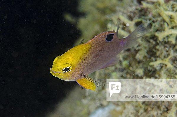 Talbot's Demoiselle (Chrysiptera talboti)  Laha dive site  Ambon  Maluku  Indonesia  Banda Sea.