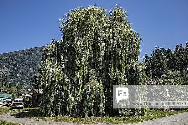 Weeping willow  New Denver  Slocan Valley  West Kootenay  British Columbia  Canada