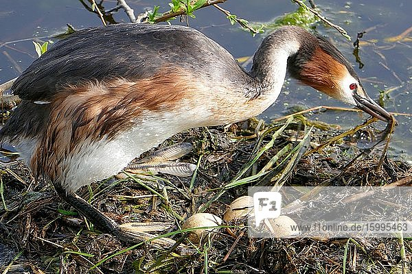 Grebe on floating nest in Groene Hart  Holland