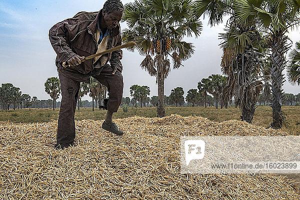 Bohnenernte in der Provinz Savanes  Nordtogo